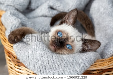 子猫 · 小さな · 白 · 目 · 青 · スタジオ - ストックフォト © cynoclub