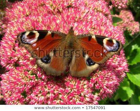 красочный европейский павлин бабочка цветок природы Сток-фото © latent