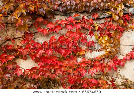 Autumn Red Leaves On Stone Wall For Backgroung Use Zdjęcia stock © Artush