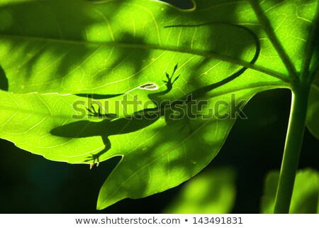 Silhouette of a lizard on a leaf back lit by sunlight Stock photo © mnsanthoshkumar