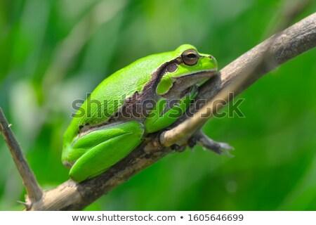 カエル · 頭 · 外に · 後ろ · 葉 - ストックフォト © macropixel