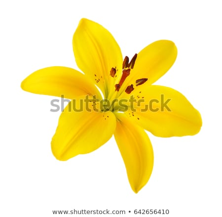 Yellow lilly flower isolated on white Stock photo © ozaiachin