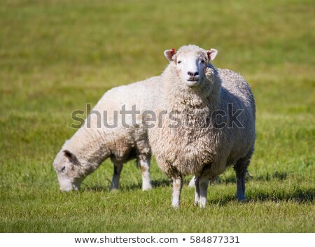 Sheep Standing up Stock photo © billperry