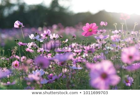 紫色の花 フィールド 青空 花 花 雲 ストックフォト © jrstock