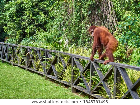Orangutan walking Stock photo © KMWPhotography
