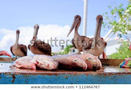 Stock photo: Pelicans waiting at the fish market