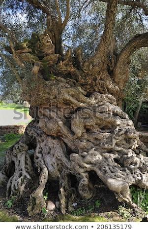古い · オリーブの木 · 地中海 · オリーブ · フィールド · 準備 - ストックフォト © goce