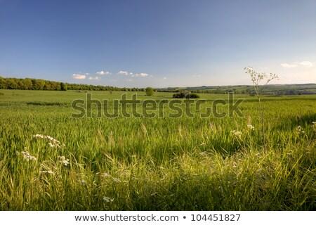 довольно английский области весна зерновые растущий Сток-фото © andrewroland