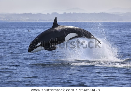 Killer whale in water Stock photo © c-foto