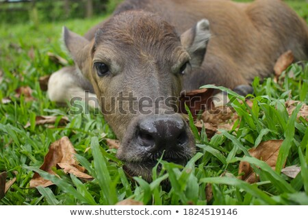 Thai cow family in farm Stock photo © yanukit