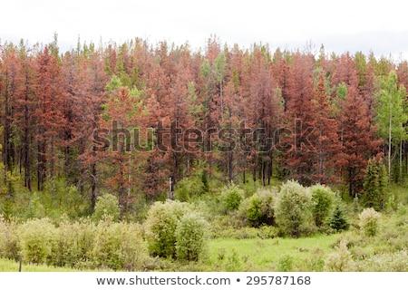 Dode berg pijnboom oude zuidelijk Nevada Stockfoto © pancaketom