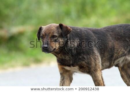 Kutya portré utca szomorú néz kamera Stock fotó © taviphoto