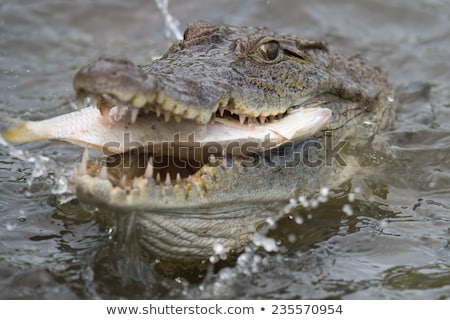 West African Crocodile (Crocodylus suchus) eating a fish Stock photo © davemontreuil