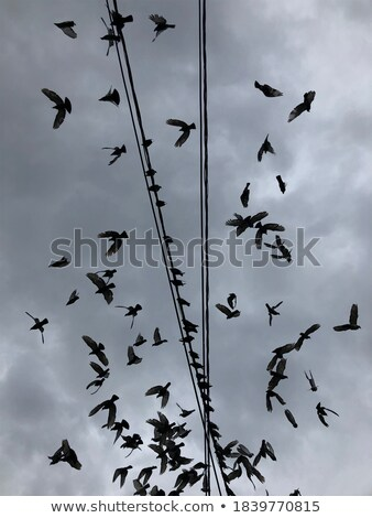 Flock of Pigeons over Power Wires Stock photo © stevanovicigor