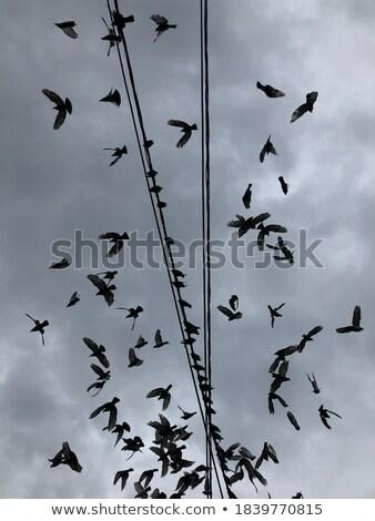 Stock fotó: Flock Of Pigeons Over Power Wires