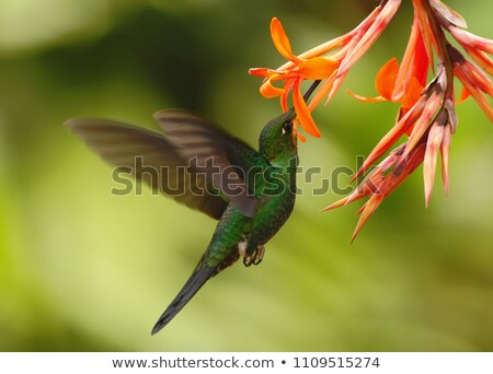 Hummingbird Hovering Next to a Flower stock photo © rhamm