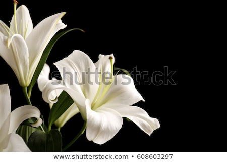 Сток-фото: белый · Лилия · черно · белые · черный · цветок · красоту