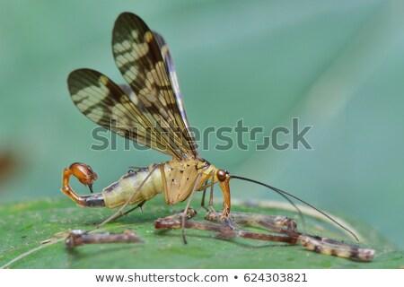 Escorpião voar animal belo bicho caracol Foto stock © chris2766