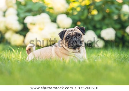 The portrait of Pug dog on a green grass lawn Stock photo © CaptureLight