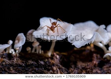 Fourmis champignons illustration bois forêt travailleur Photo stock © adrenalina