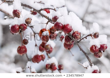 Icy branch with crab apples Stock photo © elenaphoto