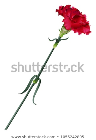 1 赤 クローブ 孤立した 白 自然 ストックフォト © orensila