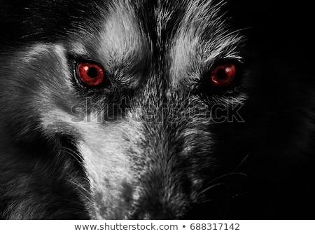Scary волка белый глазах фон красный Сток-фото © bluering