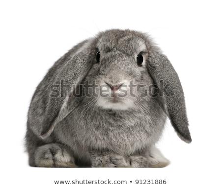 Due conigli coniglio isolato bianco copia spazio Foto d'archivio © zurijeta