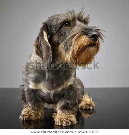 wired hair dachshund portait in gray studio Stock photo © vauvau