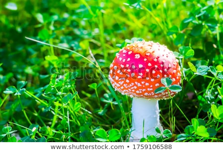 Poisonous mushroom a fly Stock photo © RuslanOmega