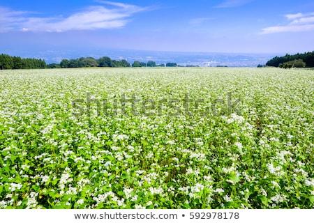 Campo florescimento azul nublado céu árvore Foto stock © vrvalerian