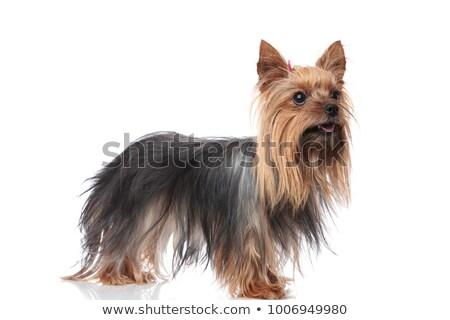 cão · húngaro · branco · retrato - foto stock © feedough