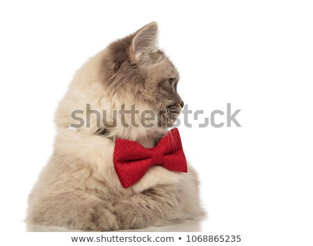 grey cat with red bowtie turning its head to side Stock photo © feedough