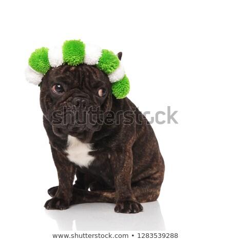 好奇心の強い フランス語 ブルドッグ 着用 緑 白 ストックフォト © feedough