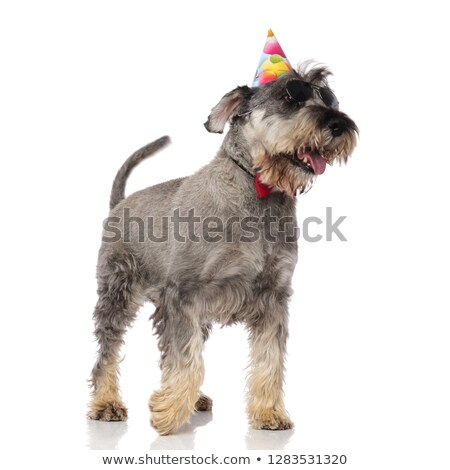 gentleman schnauzer wearing birthday hat and sunglasses looks to stock photo © feedough
