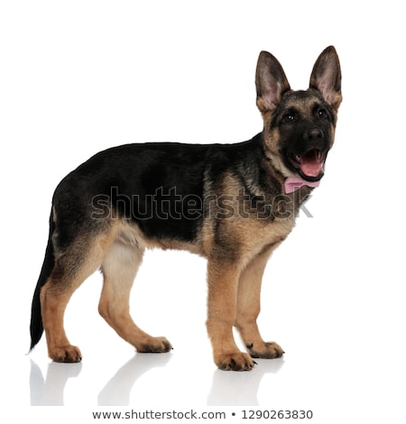 side view of elegant german shepard with mouth open stock photo © feedough
