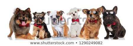 happy team of six gentlemen dogs with bowties Stock photo © feedough