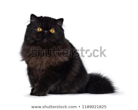 отлично глубокий черный персидская кошка котенка изолированный Сток-фото © CatchyImages