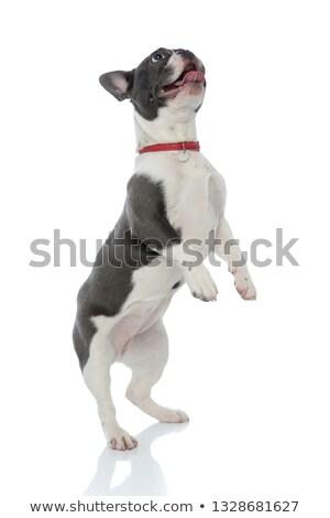 子犬 · 白 · かわいい · 犬 · 子犬 · 立って - ストックフォト © feedough