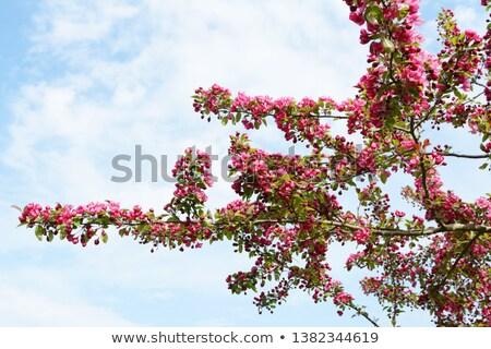 Niederlassungen Krabbe Apfelbaum bedeckt reichlich Blüte Stock foto © sarahdoow