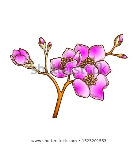 Sakura Chiny ogród drzewo kolor wektora Zdjęcia stock © pikepicture