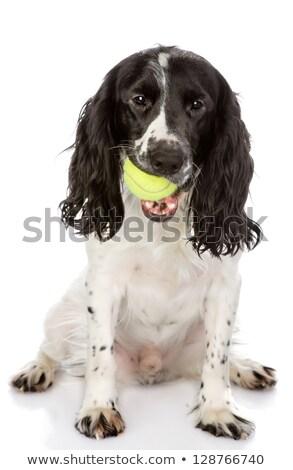 прелестный английский сидят мяча изолированный Сток-фото © vauvau