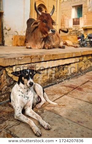 индийской улице собака Индия дома лице Сток-фото © cookelma