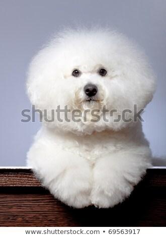 прелестный havanese собака фото студию сидят Сток-фото © vauvau