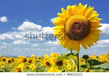 Veld zonnebloem agrarisch bloem Blauw Stockfoto © ElenaBatkova