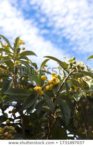 Madeira bahar yaprak meyve yaprakları bitki Stok fotoğraf © boggy