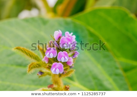 Soybean flower at young plant in field Stock photo © simazoran