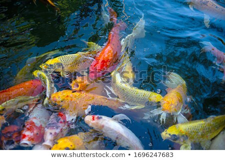 Japanese colored carps swiming in the pool. Stock photo © Ansonstock