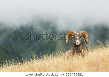 Young Rocky Mountain Bighorn Sheep Stock photo © photoblueice
