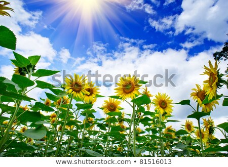 Jókedv napraforgók növekedés kék ég nap égbolt Stock fotó © lypnyk2